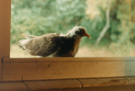 My pet pigeon while I lived in Panama, South America
